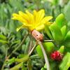 Yellowstriped Armyworm