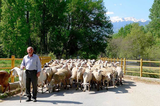 shepherd-greece - A shepherd and his flock with Mt. Olympus, Greece, in the background.