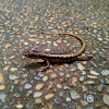 Spotted Forest Skink