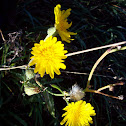 Narrow-leaf hawksbeard