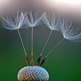 Dandelion by Zoran Rudec - Nature Up Close Other plants ( dandelion )