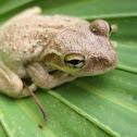 Cuban Tree Frog