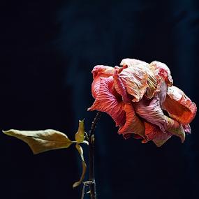 A Rose is a Rose even if it D(r)ies by Ganesh LK - Artistic Objects Still Life