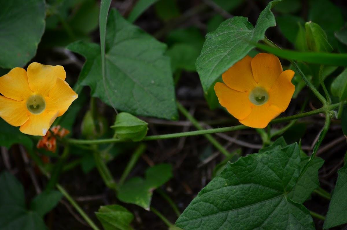 Tumbergia , flor Amarilla