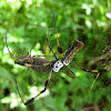 Golden-silk Spider eats Giant Sweet Potato Bug