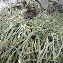 dragon fruit cactus, Punahou cactus