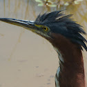 Green Heron (immature)