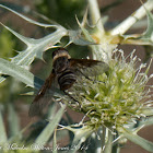 Bombyliid Fly