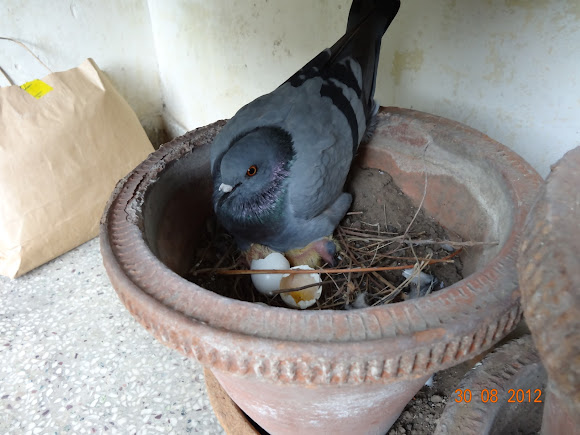 Image result for pigeon nest