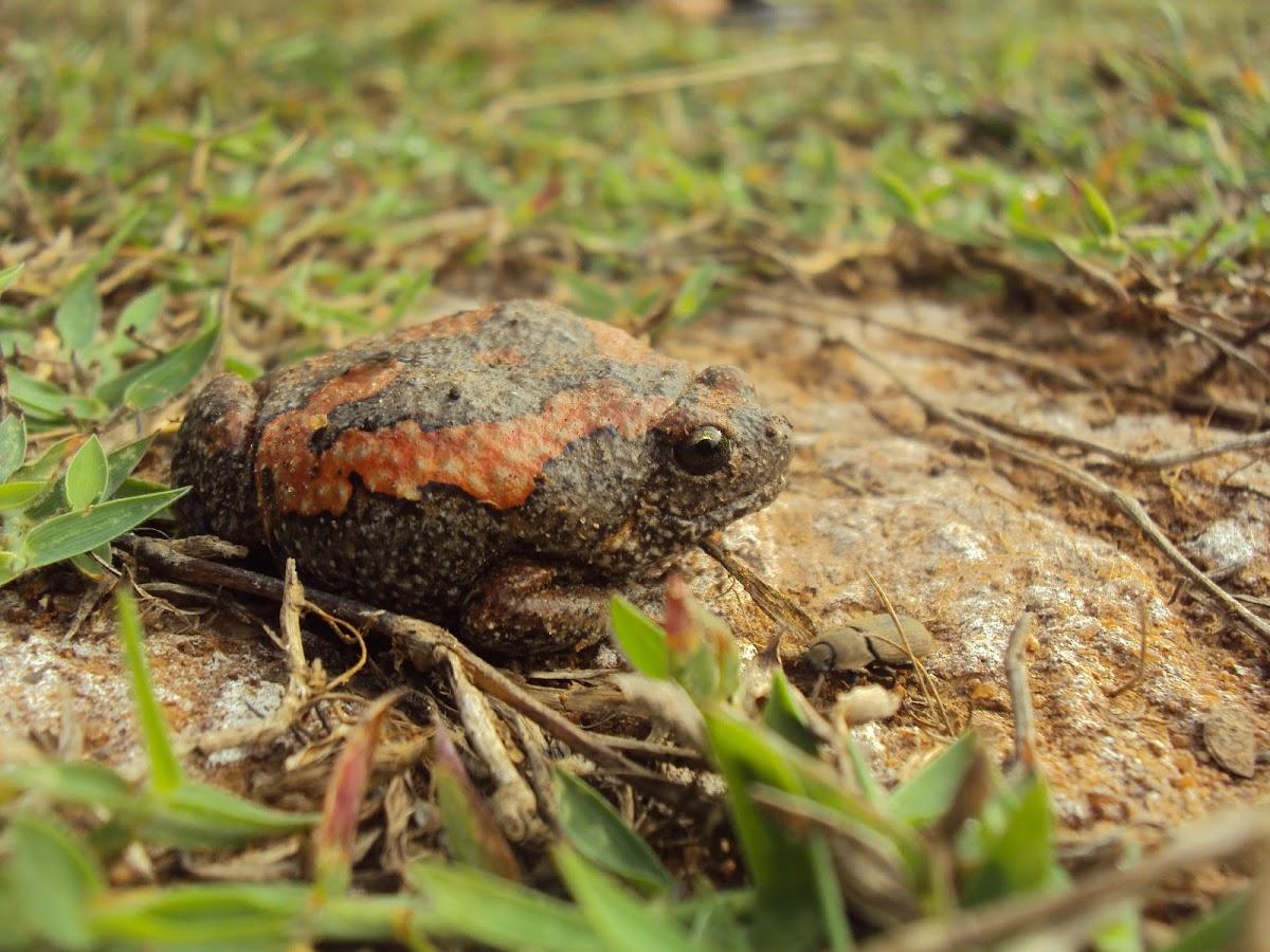 Sri Lankan Painted Frog