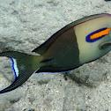 Orangebar Surgeonfish