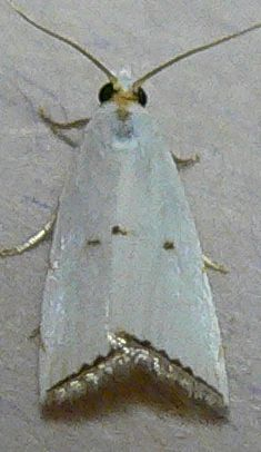 Milky Urola Moth