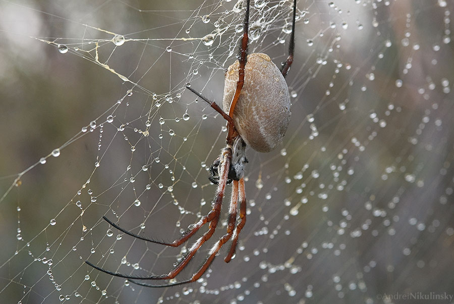 Golden Orb-Weaver