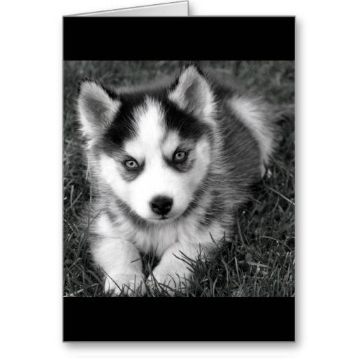 Siberian Dog HD Wallpaper LOGO-APP點子