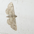 The Small Engrailed Moth