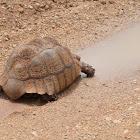 Leopard tortoise drinking water in the road