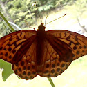 Silver-washed fritillary/Gospica