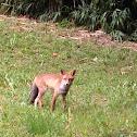 Volpe, Fox