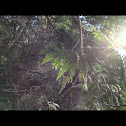 Fir tree at Close beach