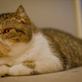 Exotic Cat by Thanh Nguyen-Huynh - Animals - Cats Kittens ( cats, kitten, cat, fluffy, persian, nikon, kitty, d5100, exotic )