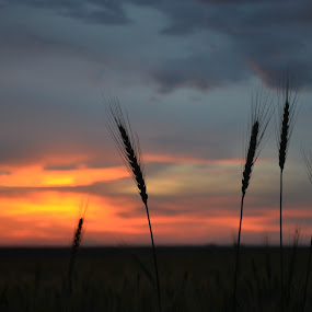 under the sunset by Rux Georgescu - Landscapes Prairies, Meadows & Fields ( wheat, field, sunset )