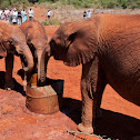 Orphaned African Elephants