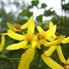 Senecio angulatus