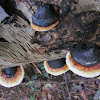 red-banded polypore