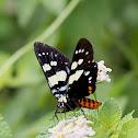 Day flying Noctuid Moth