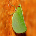 Red-eyed flatid planthopper
