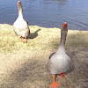 Toulouse (domestic Greylag) Goose