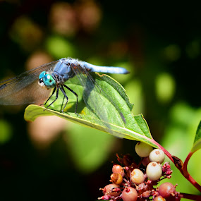 bio park life by Dawnadine Yazzie-Harvey - Animals Insects & Spiders ( life, nature, beauty, dragonfly, insect )