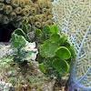 Large Leaf Watercress Alga