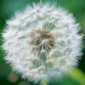 wallpaper dandelion