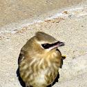 Cedar Waxwing (young)