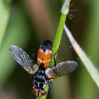 Tachinidae Fly
