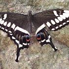 Emperor Swallowtail