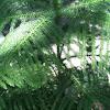 Star Pine or Norfolk Island Pine