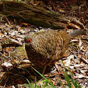 female Kalij Pheasant