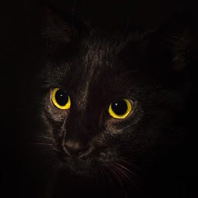 Frodo by Michael Pachis - Animals - Cats Portraits ( cat's eyes, golden eyes, house cat, cat's face, black cat,  )