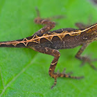 Canopy Anole