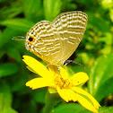 Common Caerulean