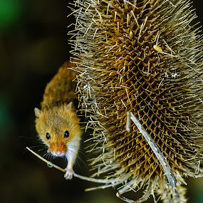 harvest Mouse (Micromys minutus)  by Graham Mulrooney - Animals Other Mammals ( plant, mouse, uk, harvest mouse, wildlife, teasel, mammal, seedhead, micromys, natural history, nature, square, rodent, micromys minutus, animal,  )