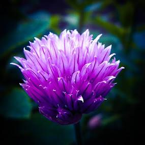 Chive flower. by Lyndsay Hepburn - Flowers Single Flower (  )
