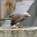 The jungle babbler
