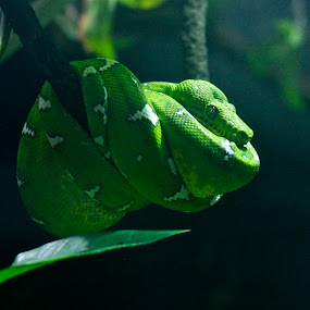 by Ashley Gibson - Animals Reptiles (  )