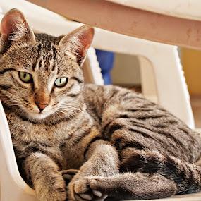 Goshu by Lalaji Anwar - Animals - Cats Portraits