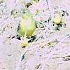 Lesser Gold Finch Female