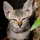 Domesticated Cat