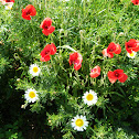 Poppies amongst Daisies